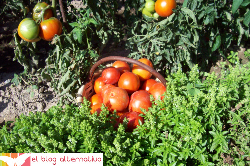 tomates huerta - Cómo hacer tomates secos