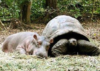 owen hipopotamo