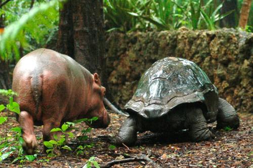 owen4 - La pareja del año 2009: el hipopótamo huérfano Owen y la tortuga Mzee