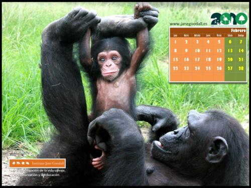 calendario instituto jane goodall febrero 2010 - Calendario 2010 del Instituto Jane Goodall para tu ordenador