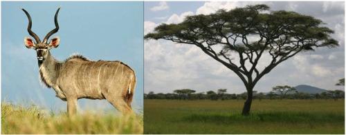 kudu antilope y acacia