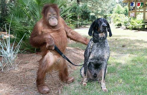 roscoe animales amistad orangutan perro