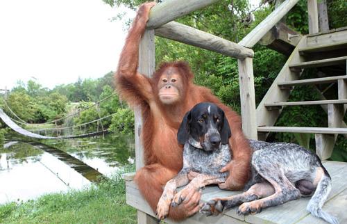 roscoe4 - Suryia, oraguntan, y su amigo el perro Roscoe: otra bella historia de amistad entre animales de diferentes especies