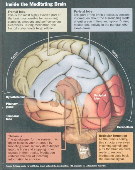 meditation and the brain - meditación y cerebro