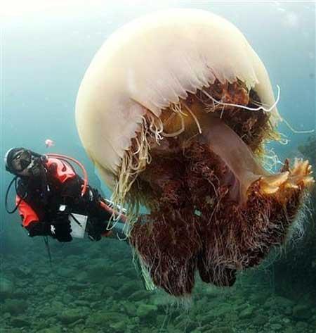medusagigante - Medusas gigantes y sobrepesca