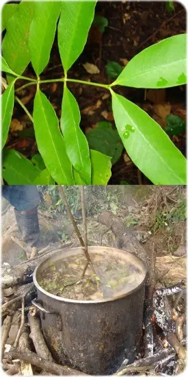 plantas maestras1 - PLANTAS MAESTRAS: un camino de sanación e iniciación a través de la cultura chamánica amazónica