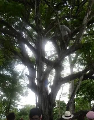PaloSanto arbolb - PALO SANTO: el aroma sagrado de la madera. Entrevistamos al experto Pedro Dols