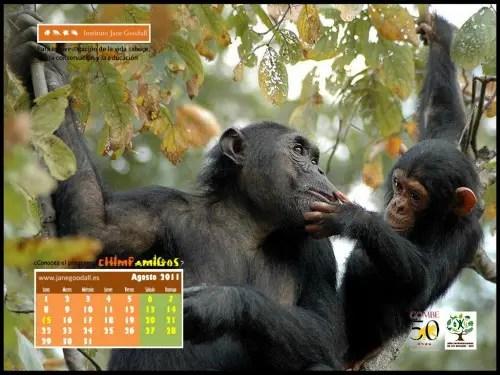 Calendario IJGE ago2011 1024 - Calendario-fondo de escritorio Jane Goodall: agosto 2011