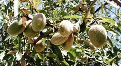 almendro con fruto