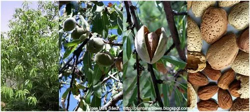 almendruquero - Sembrar semillas de árboles donde no los hay