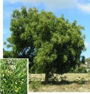 aceite neem insecticida ecologico mas L o1Er14 - Eliminar los piojos de forma natural
