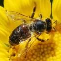 abeja1 - Especial LAS ABEJAS (1/3): ¿nos quedamos sin colmenas?