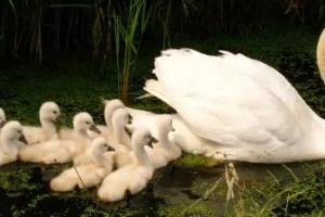 patos - Conciencia de pertenencia