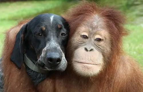 roscoe - roscoe  animales amistad orangutan perro