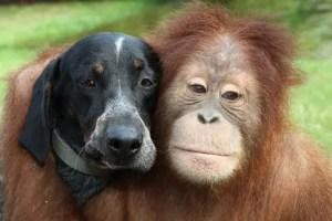 roscoe - Suryia, oraguntan, y su amigo el perro Roscoe: otra bella historia de amistad entre animales de diferentes especies