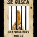 se busca mon810 2 - Se busca maíz transgénico Mon810
