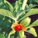 ASWAGANDHA - ASHWAGANDHA, el potente remedio anti-stress y rejuvenecedor de la medicina ayurvédica