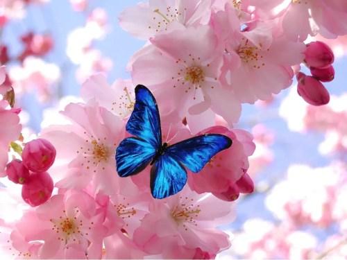 mariposa azul - mariposa-azul