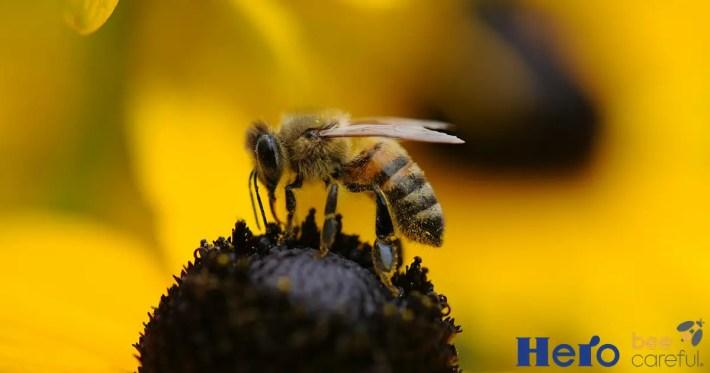abeja en flor - Bee Careful, en defensa de las abejas