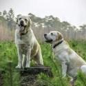 labrador - Viajando con mascotas