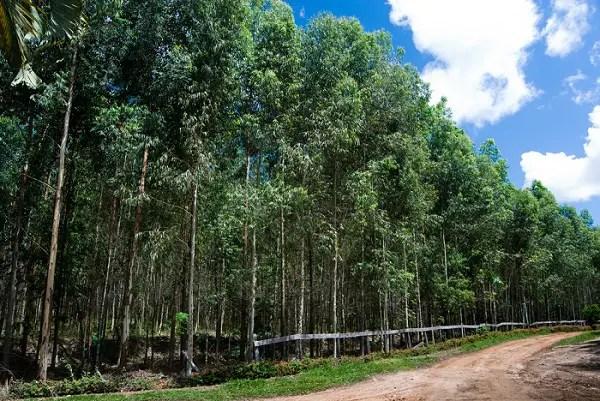 bosque de eucaliptos - Bosques de eucaliptos ¿beneficios o riesgos?