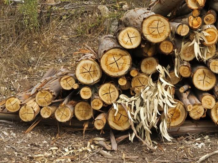 eucalipto - El impacto económico del eucalipto en Galicia
