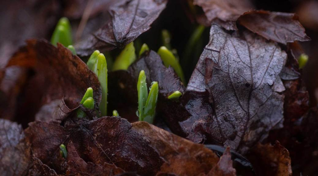Daffodil shoots growing through the leaves