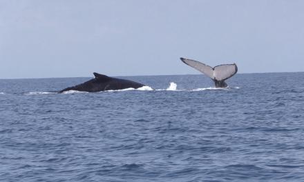 Temporada de avistamiento de ballenas