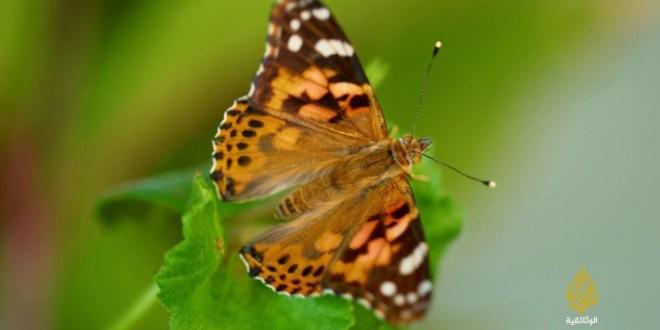 اشرطة وثائقية .. الفراشات.. الجمال الهش