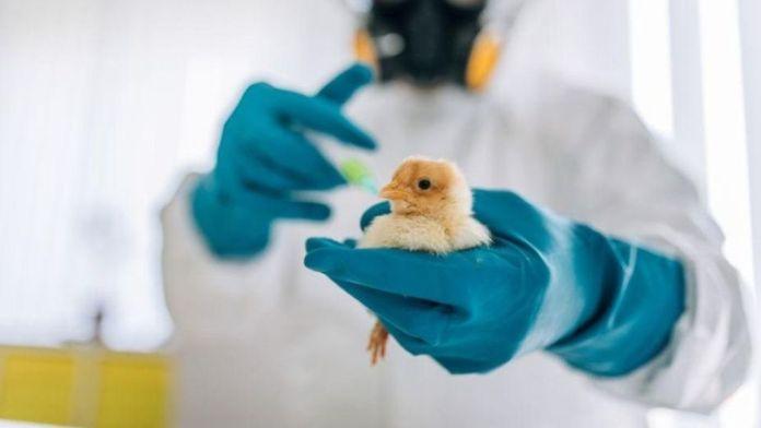 ¿A qué juegan? Insólito cruce de células humanas con embriones de pollo