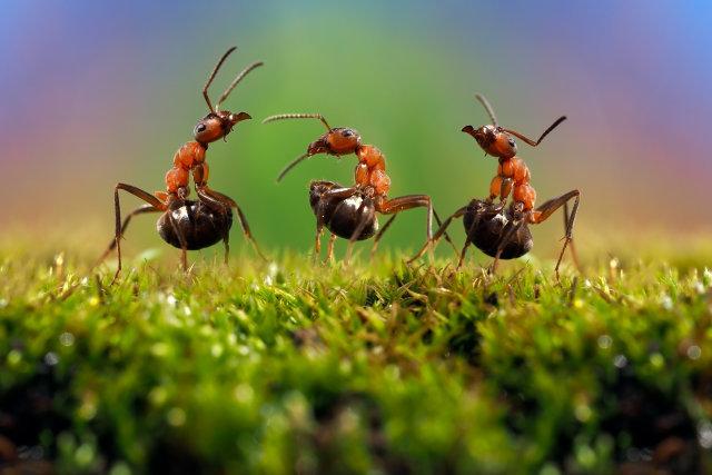 ¿Cómo el veneno de hormiga puede convertirse en el biocombustible del futuro?