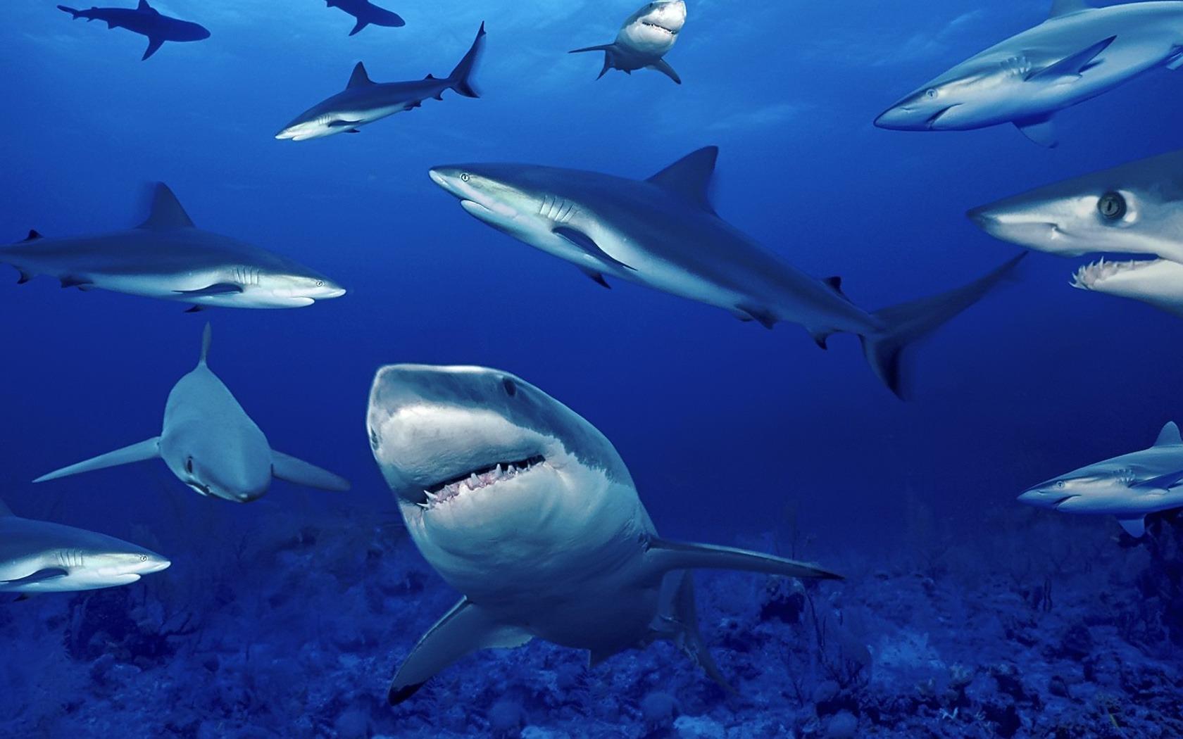 Advierten que los tiburones blancos podrían extinguirse en 100 años