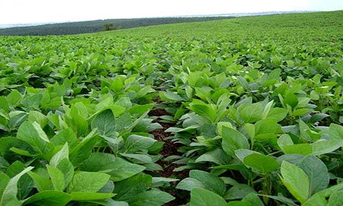 Preocupante: la soja cayó a su menor valor en una década