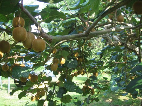 Gite-rural-El-Correntiu-jardin-kiwi