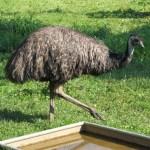 Aceite de Emu propiedades y beneficios para la salud