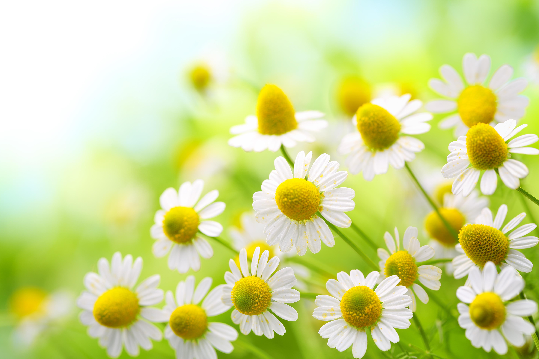 15 propiedades de la manzanilla el cuerpo for Manzanilla planta medicinal para que sirve