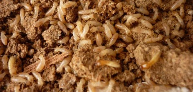 مكافحة النمل الأبيض فى المنزل بأسهل الطرق