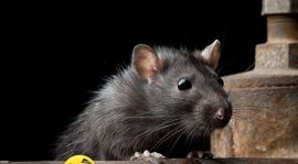 شركة مكافحة فئران برابغ