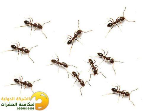 النمل الاسود