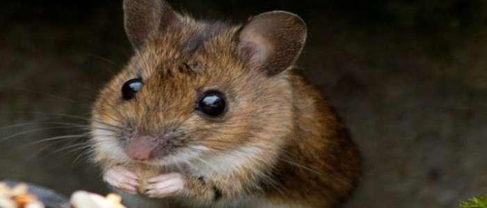 ديلي ميل: الفئران قد تكون الحل لوقف شيخوخة البشر