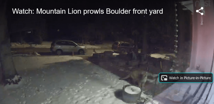 Security camera captures mountain lion prowling through front yard in Colorado (image)