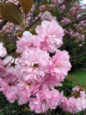Flowering cherry with double bloom.