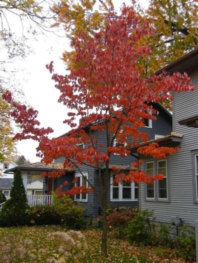 Red-orange Flowering Dogwood fall color.