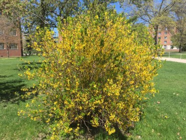 Selective pruning of Forsythia allows for showy floral displays.
