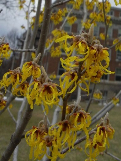 Late winter bloom of Vernal Witchhazel.