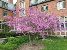 Multistem Redbud tree.