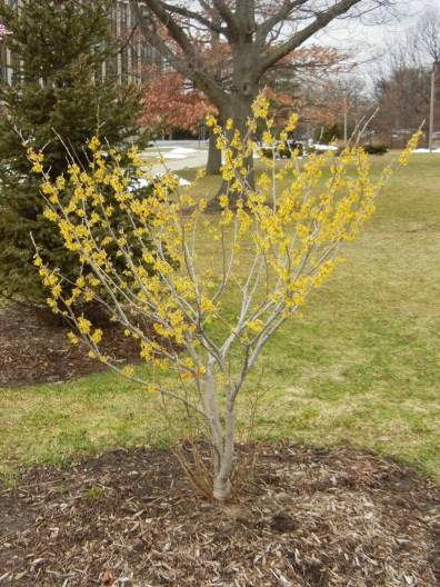 Hamamelis shrub, newly planted.