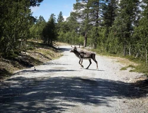vedere le renne in Norvegia del Sud