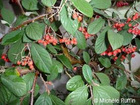 cotoneaster-lacteus