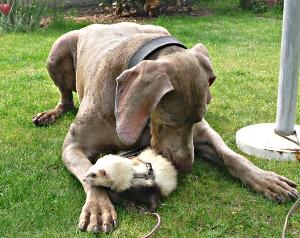 complicité chien/furet
